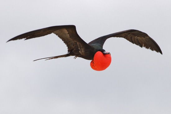 Frigate-bird-flying