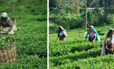Top 10 Tea Exporting Countries list